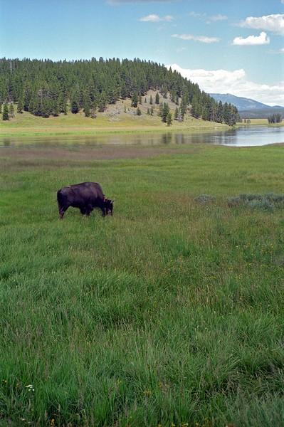 Bison on the Hayden valley