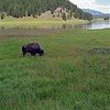 Bison on the Hayden valley