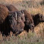 Buffalo Family