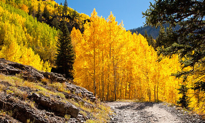 Aspen in peak fall color on the 4 wheel drive trail to Engineers Pass