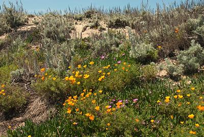 Spring flowers at California beach