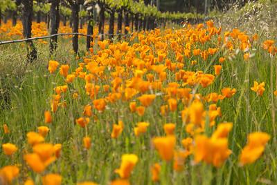 California golden poppies between the vines