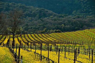 Vineyard and mustard