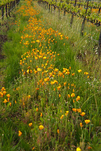 Sonoma Vineyard with California Poppies