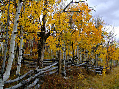 Aspens become sun on a cloudy day