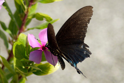 "One again, I appeal to my friends at the ""butterflies"" community to tell me what this lovely creature is. I see these butterflies all of the time. But my search for black butterflies in Central Texas turns up nothing that looks like this butterfly."