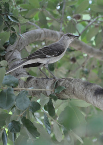 Western Mockingbird. I believe this is a male because of its dark wings. But I am not sure.