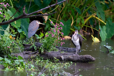 Tricolored Heron and immature White Ibis