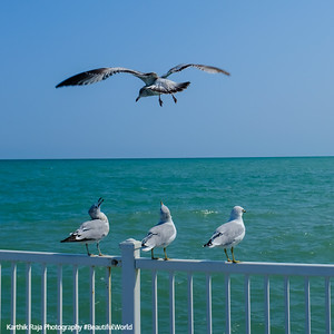 Seagulls in flight, Glencoe Beach, Lake Michigan