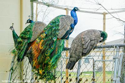 Peacock, Meenakshi Temple in Pearland, Houston