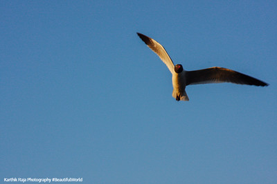 Bird in Flight, Kemah Boardwalk, Gulf of Mexico, Texas