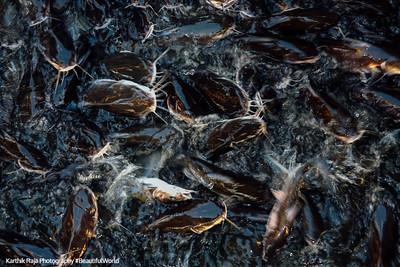 Catfish, Kemah Boardwalk, Gulf of Mexico, Texas
