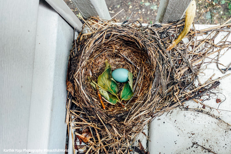 Robin eggs, Palatine, Illinois