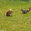 Squirrels, Notre Dame University, South Bend, Indiana