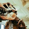 Dinosaur - the mighty T-Rex, American Museum of Natural History, New York City