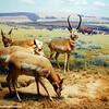 Deer grazing, American Museum of Natural History, New York City