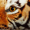 Tiger Tiger burning bright, American Museum of Natural History, New York City