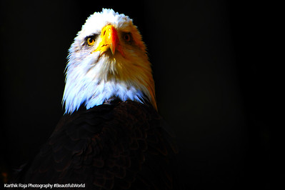 Eagle, American, Philadelphia Zoo