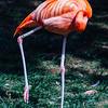 Philadelphia zoo - Caribbean Flamingos
