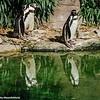 Philadelphia zoo - Naked Penguins