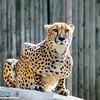 Philadelphia Zoo - cheetah