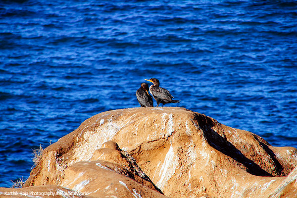 Mating season, La Jolla, San Diego, California