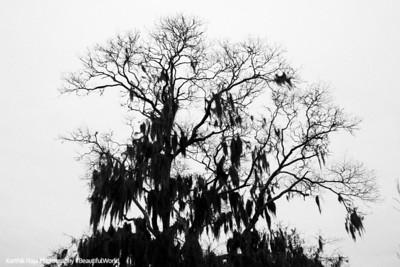 Colonial Park Cemetery, Oak tree with Gray Spanish Moss, Savannah, Georgia