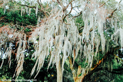 Spanish Moss, Savannah, Georgia