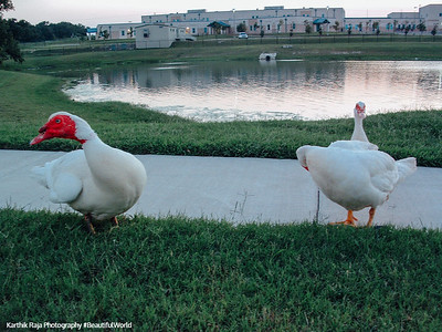 Geese, Round Rock, Texas