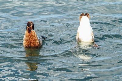 Ducks, Lake Michigan, Milwaukee, Wisconsin