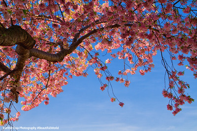 Cherry Blossoms, Tidal Basin, Washington D.C.