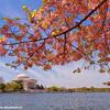 Jefferson Memorial, Cherry Blossoms, Tidal Basin, Washington D.C.