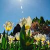 Sunlight, Tulips, Washington D.C.