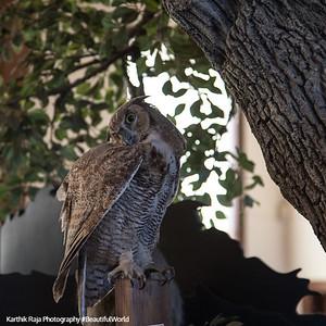Owl, Marin Headlands, Golden Gate National Recreational Area, California