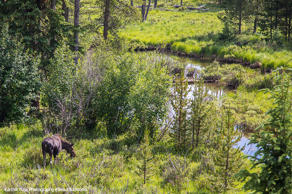 Moose, Coyote Valley Trailhead, Rocky Mountain National Park, Colorado