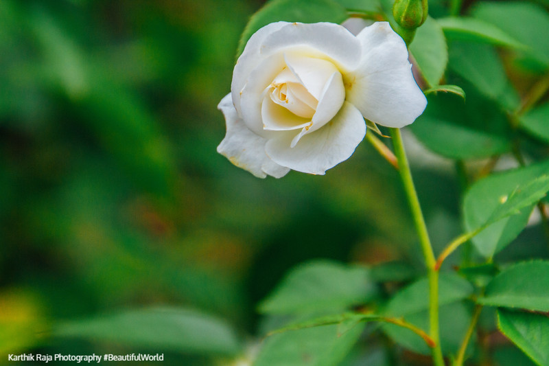 Rose, Chicago Botanic Garden, Glencoe, IL