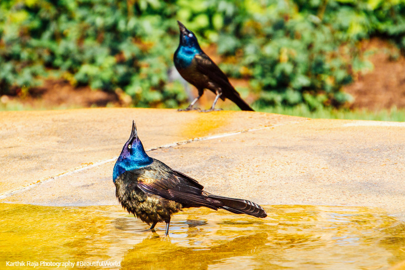 Common Grackle basking in the sun and water, Chicago Botanic Garden
