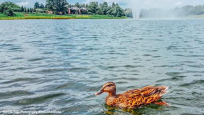 Duck, Fountain, Chicago Botanic Garden, Chicago, Il