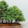 Cypress Forest, Bonsai Garden, Chicago Botanic Garden