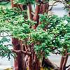 Bonsai, Chicago Botanic Garden, Glencoe, IL