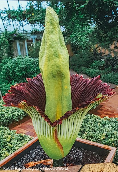 The Corpse Flower, Marie, Chicago Botanic Garden, Glencoe, IL