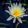 Chicago Botanic Water Lily, Garden, Glencoe, IL