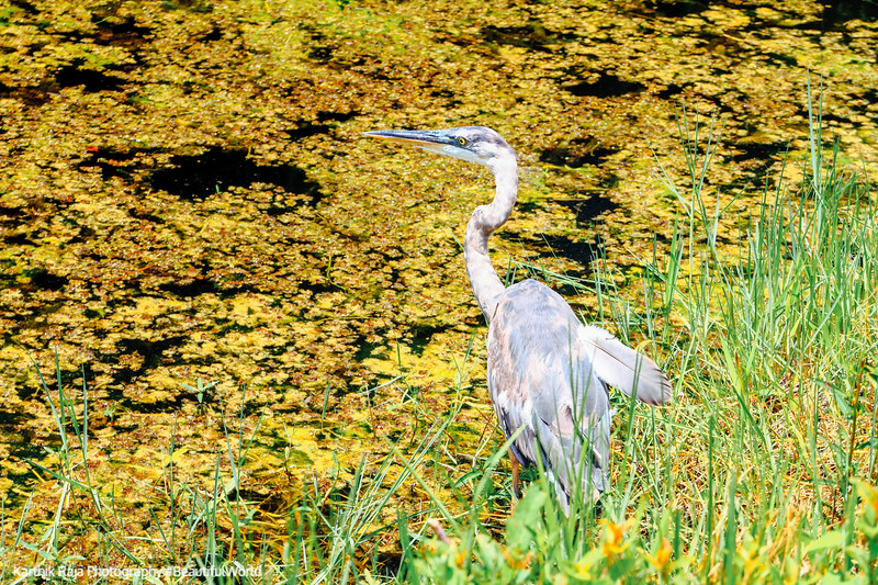 Great Blue Heron, Everglades National Park, Shark Valley, Florida