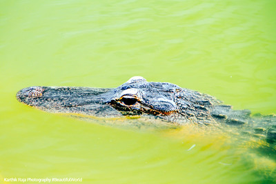 Alligator, Everglades National Park, Shark Valley, Florida
