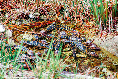 Baby Alligator, Everglades National Park, Shark Valley, Florida