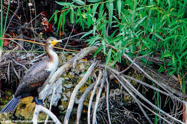 Cormorant, Everglades National Park, Shark Valley, Florida