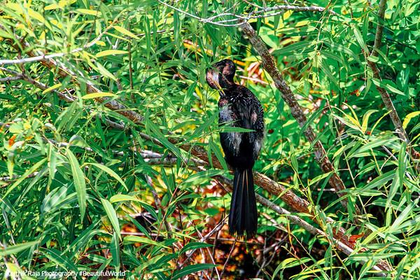 Anhinga, Everglades National Park, Shark Valley, Florida