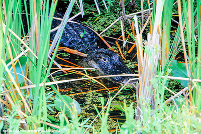 Alligator on stealth mode, Everglades National Park, Shark Valley, Florida