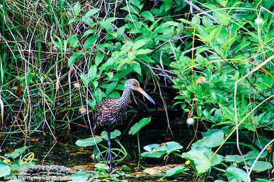 American Bittern, Everglades National Park, Shark Valley, Florida