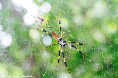 Golden orb-weaver spider, Hugh Taylor Birch State Park, Ft. Lauderdale, Florida